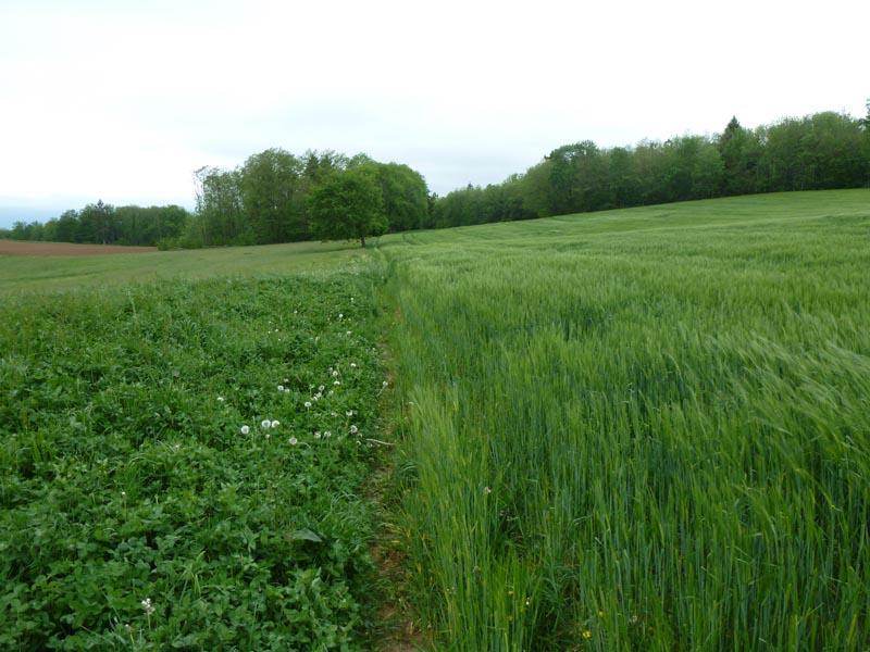 traversée sous les Bois Brûlés le long des champs de blé